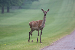 Windsor, UK. 29th May, 2018. A red hind alongside the Long Walk in Windsor Great Park. There is a herd of around 500 red deer within the deer park enclosure in Windsor Great Park, all descended from forty hinds and two stags introduced in 1979 by the Duke of Edinburgh.