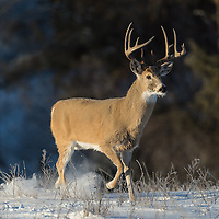 mature whitetail buck in snow