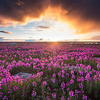 Canada, Manitoba, Fireweed (Chamerion angustifolium) lit by setting midnight sun on sub-arctic tundra along Hudson Bay at Hubbart Point