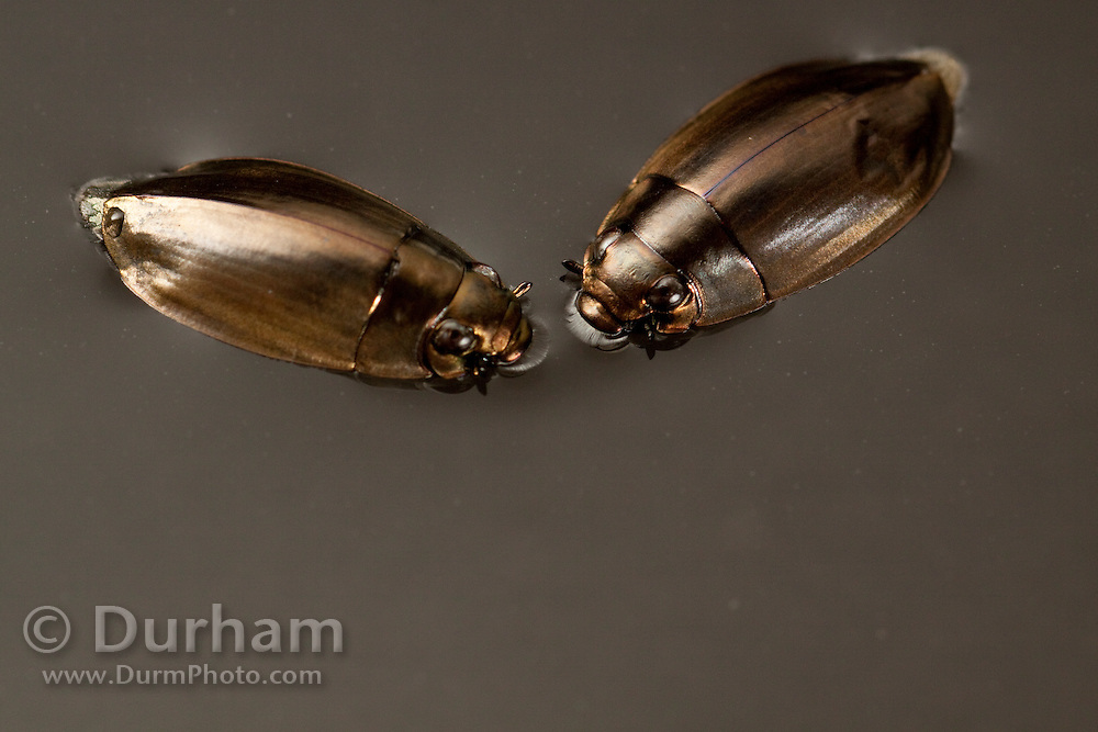 whirligig beetles, or Gyrinidae beetles, (Dineutus sp) swimming in water. Central Texas.