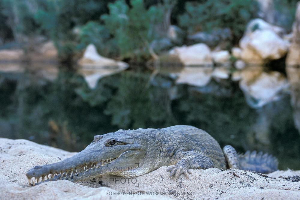 Australien-Krokodil (Crocodylus johnsoni) im Windjana-Gorge-Nationalpark, Australien<br /> <br /> Freshwater crocodile in the Windjana-Gorge National Park, Australia