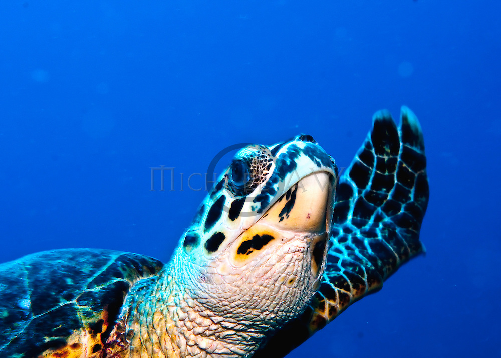 Hawksbill sea turtle (Eretmochelys imbricata