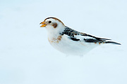 Snow Bunting, Plectrophenax nivalis, Tuscola County, Michigan