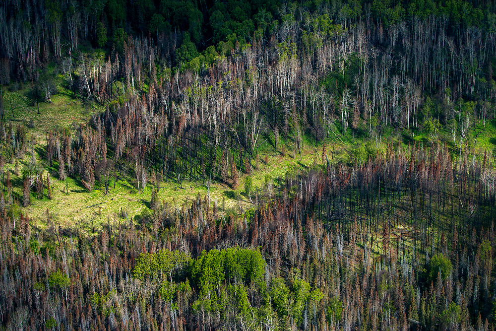 A patch of damaged forest near Anchorage in Alaska. The borealis forest – typically pine, birch and larch - make up about thirty percent of all forest in the world. Less efficient than rain forests, it's still a vital part of the carbon sink. The mean temperature in the arctic areas are already 1.5c warmer than normal. Higher levels of CO2 accelerate growth of the forest, and has been lauded by climate deniers as proof that global warming is a hoax. However; as growth is accellerated, the lifespan of the trees is shortened. The net result is a CO2 saturated forest that turn from being a carbon sink to be a carbon source. And it gets worse; Hundreds of wildfires are ravaging Alaska this summer, fueled by a warmer, dryer climate and huge patches of bone dry dead forest. Unlike a slow CO2 release from decomposing, wildfire release all the CO2 at once. The same warmweather has also resulted in a pine beetle invasion that destroy pine forest all over North America. In British Columbia alone, more than 44 million acres of forest are already destroyed according to National Geographic.