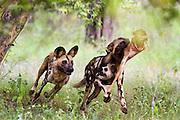 African wild dogs hunting.  Zimbabwe