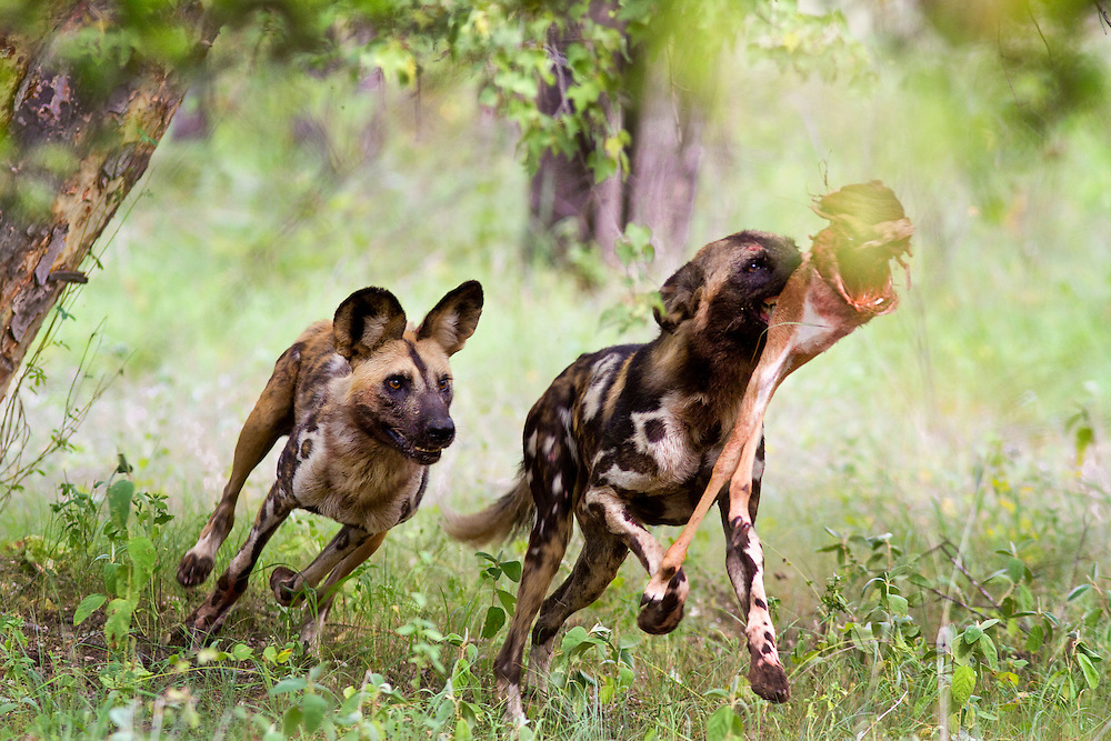 African wild dogs hunting.  Zimbabwe