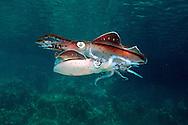 Caribbean reef squid threat display, Sepioteuthis sepioidea, Venezuela. Atlantic Ocean