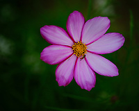 Hoverfly on a Cosmos Flower. Image taken with a Fuji X-H1 camera and 80 mm f/2.8 macro lens