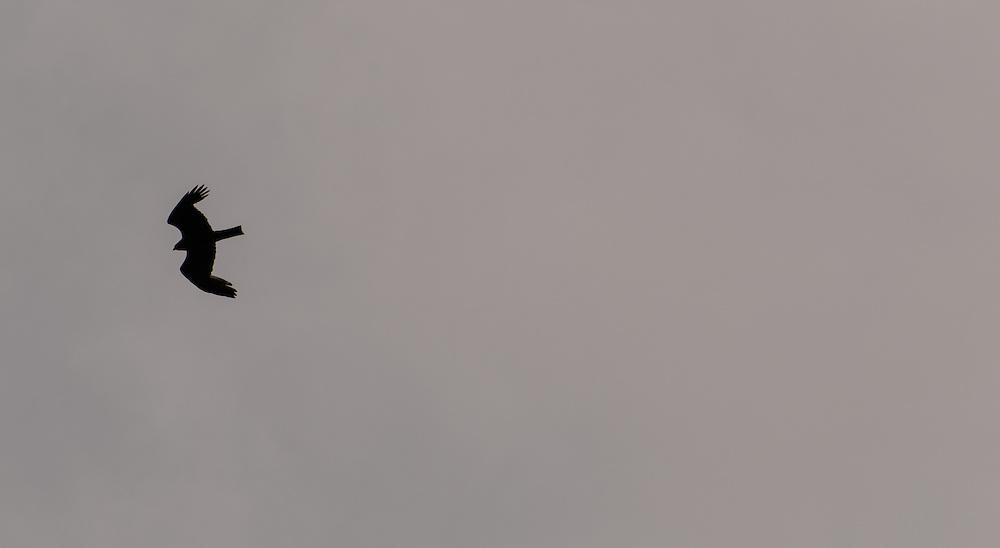 Black kite silhouette, Burgundy, France