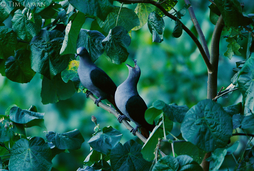Two endangered Marquesan Impearial-pigeons (Ducula galeata) calling from a tree.