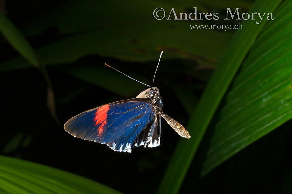 Heliconius melpomene in flight, Central America<br /> <br /> Insect in Flight, High Speed Photographic Technique Image by Andres Morya