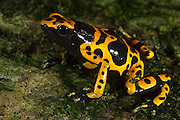 Yellow-banded Poison Dart Frog (Dendrobates leucomelas)<br /> Surama<br /> Rainforest<br /> GUYANA. South America<br /> RANGE: South America, most notably in Venezuela. It is also found in parts of Guyana, Brazil and possibly the extreme eastern most part of Colombia.