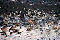Waterfowl at Twilight, Bolsa Chica Ecological Reserve, Huntington Beach, California