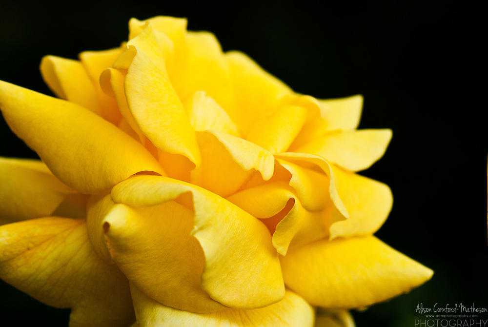 Rose Croix d'Or
