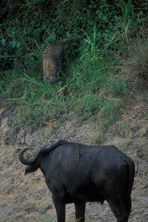 Kenya, Masai Mara Game Reserve, Adult Adolescent Male Leopard (Panthera pardus) avoids Cape Buffalo in Telek River