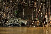 Jaguar (Panthera onca) female<br /> Northern Pantanal<br /> Mato Grosso<br /> Brazil<br /> (Patricia)
