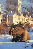 Anchorage Moose, with their maisive antlers, are infamous for stripping trees of their leaves and, occasionally, strings of electric lights.
