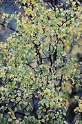 Autumn colours, birch leaves
