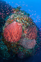 Anthias swarm a barrel sponge encrusted coral reef wall<br /> <br /> Shot in Indonesia