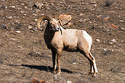 Bighorn sheep (Ovis canadensis) at the National Elk Refuge, Jackson Hole, Wyoming USA