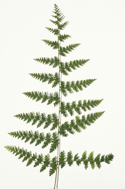 still life of a fern leaf
