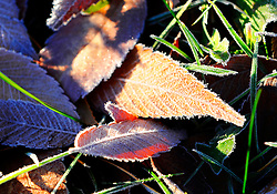 Overnight temperatures in January dipped just below freezing in the Salinas area, leaving frost on many surfaces, including these slowly warming leaves.