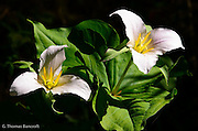 The trillium flowers were starting to show pink, indicating they they were almost finished blooming.  I loved how the stamines shinned brigh yellow in the sun, just waiting to share there pollen.