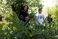 Venezia - Isola delle Vignole. Guia Camerino architetto. Ora si dedica alla coltivazione delle castrare, il tipico carciofo veneziano.<br /> Venice - Vignole Island. Guia Camerino, architect now work in the you vegetable garden.
