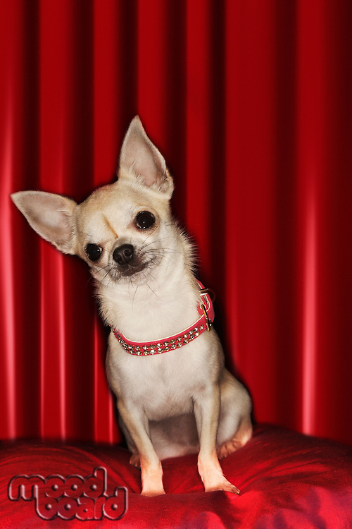 Chihuahua sitting on red pillow