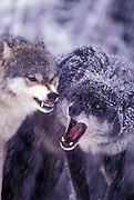 Two female gray wolves (Cainis lupus) establish heirarchy. Captive, Montana