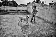 """Jani, a Bully Kutta mastiff dog of 5 years old, is on training. Each day for two month, before the starting period of the dogfighting, has to run, has to .deal with wild boars, follow a resticted diet. NWFP, Pakistan, on friday, August 29 2008.....According to the Islamic tradition, angels do not enter a house which contains dogs. Even if they are considered """"ritually unclean"""" by the jurists, the fighting dogs of Pakistan are tolerated by institutions and by believers alike. These mastiffs are grown and trained explicitly for these matches. Spectators in this area flock-in from nearby villages whenever a famous dog is scheduled to enter the arena. And this is more than just a show: entire families base their social esteem on the results of such bloody confrontations."""