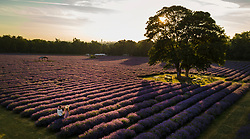 © Licensed to London News Pictures. 05/07/2017. Banstead, UK. People walk at first light as sunshine bathes the crop at Mayfield Lavender Farm on the North Downs, where lavender production first flourished 100 years ago. Organic oils, fragrances, food, lavender bunches and other gifts are for sale  to visitors to the farm and at a nearby nursery and gift shop. Images taken with the permission of Mayfield Lavender. Photo credit: Peter Macdiarmid/LNP