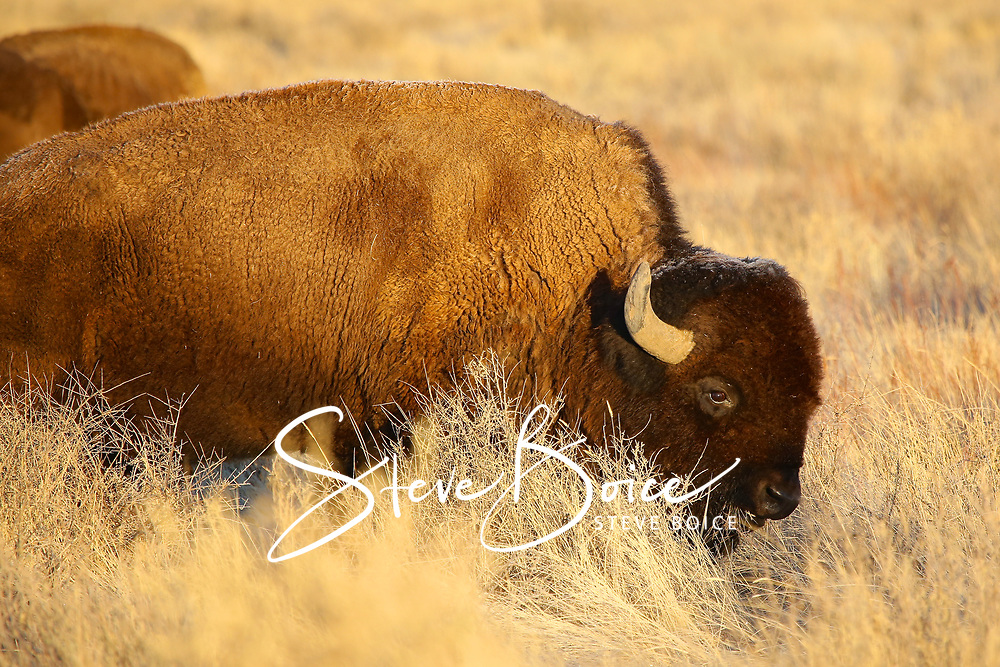 American bison buffalo at the Rocky Mountain Arsenal National Wildlife Refuge.
