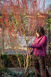 Cutting brightly coloured cornus stems to bring indoors for making a flower arrangement. Dogwood