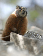 Price Chambers / JACKSON HOLE DAILY.A yellow-bellied marmot pokes his head up to see people arriving at the Jenny Lake boat dock on Sunday morning. The large rodent typically lives in a burrow and eats mostly greens and berries.