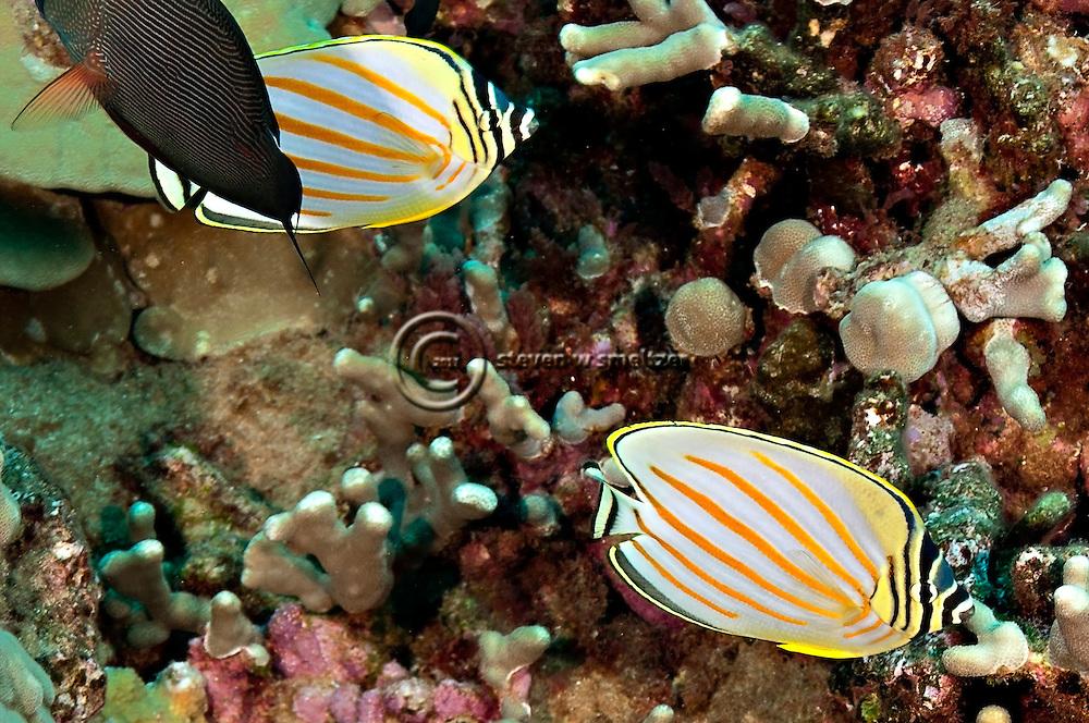 Ornate Butterflyfish, Chaetodon ornatissimus, Cuvier, 1831, Lanai Hawaii