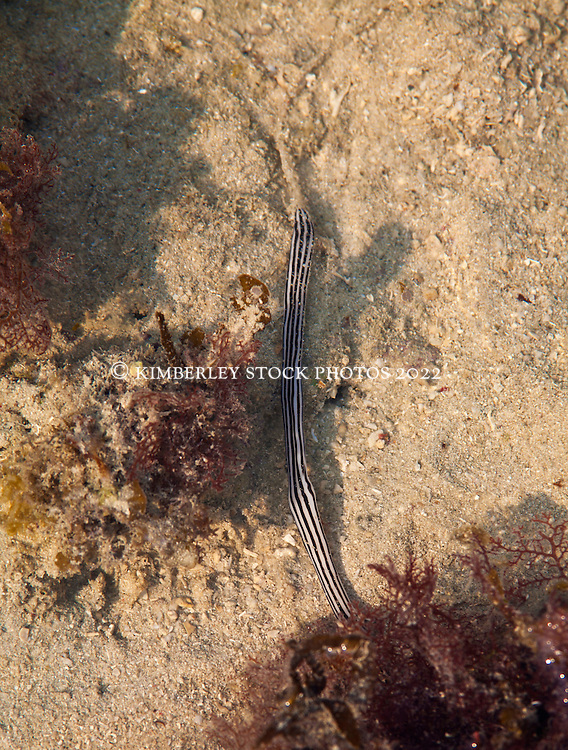 A slender black and white ribbon worm underwater in a shallow reef on Augustus Island.