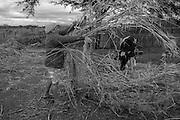 A comunidade Lagoa da Favela, fica no munic&iacute;pio de Flores, a 30 min de dist&acirc;ncia de Triunfo, no sert&atilde;o pernambucano. Vivem l&aacute; cerca de 10 fam&iacute;lias de agricultores rurais. A regi&atilde;o &eacute; denominada Sert&atilde;o do Page&uacute;, pois fica &agrave;s margens do Rio Page&uacute;. H&aacute; alguns anos os moradores vem sofrendo com a enorme seca que abateu todo o semi&aacute;rido nordestino e o rio que d&aacute; nome a esta macro regi&atilde;o est&aacute; seco. Nesta comunidade algumas iniciativas de planta&ccedil;&atilde;o com sementes criolas em Sistema Agroflorestais (SAFs) tem sido implantadas com o aux&iacute;lio do Centro Sabi&aacute;. <br /> <br /> Maria Gerlande Rom&atilde;o de Medeiros adotou h&aacute; cerca de 2 anos o sistema agroflorestal. Ela planta milho, feij&atilde;o, macaxeira, etc de forma intercalada, utilizando sementes criolas que come&ccedil;ou a ter acesso desde de que adotou o plantio sem agrot&oacute;xicos. No quintal, ela tem uma cisterna, um po&ccedil;o e uma barreira. Se a quantidade de &aacute;gua armazenada for suficiente nos pr&oacute;ximo anos ela pretende aumentar a produ&ccedil;&atilde;o para vender e ter uma fonte de renda a mais. Ela cria bode, porco, vaca, pato, galinha, etc