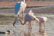 A flock of Pink Flamingos at a watering hole foraging for food