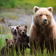 Three cubs stand next to their mother when startled by a river otter near the Coast of Lake Clark National Park in Alaska.