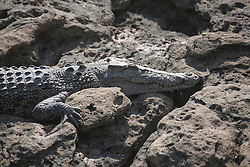 A crocodile sunbakes on the rocks at Langgi in Camden Sound on the Kimberley coast.