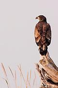 USA, Katmai National Park (AK).Juvenile blad eagle (Haliaeetus leucocephalus)