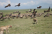 Africa, Kenya, Samburu National Reserve, Cheetah (Acinonyx jubatus) chasing away the vultures