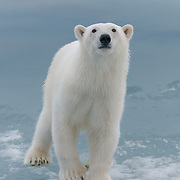 Polar bear, Svalbard, Norway,