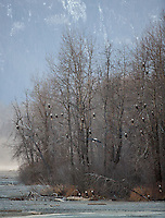 A large number of bald eagles congregate in nearby trees. Haines, Alaska.