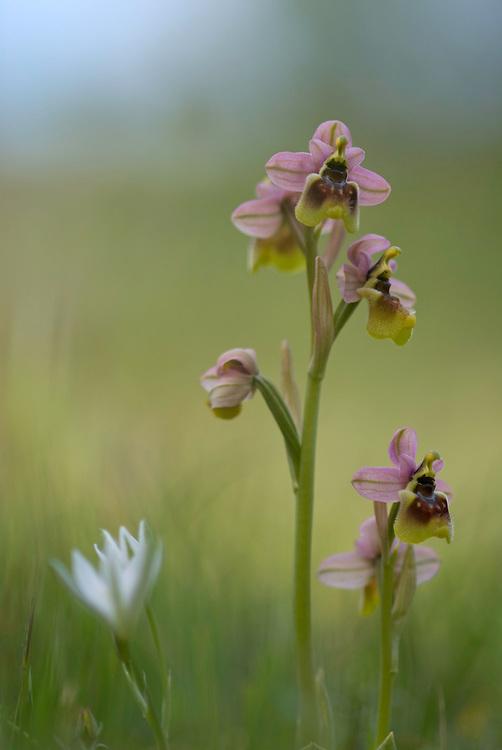Apulia; Gargano National Park; Gargano Peninsula; Italy; Ophrys tenthredinifera; Sawfly Orchid