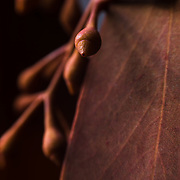 Macro photograph of seeded, Eucalyptus in copper colored tones.