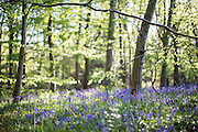 Bluebells shot at f/1.2 in Lane Woods, Little Chalfont, Bucks