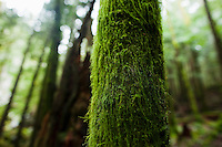 A closeup view of a moss covered tree trunk in Western Washington, USA.