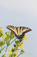03023-02720 Eastern Tiger Swallowtail (Papilio glaucus) on Cup Plant (Silphium perfoliatum) Marion Co. IL